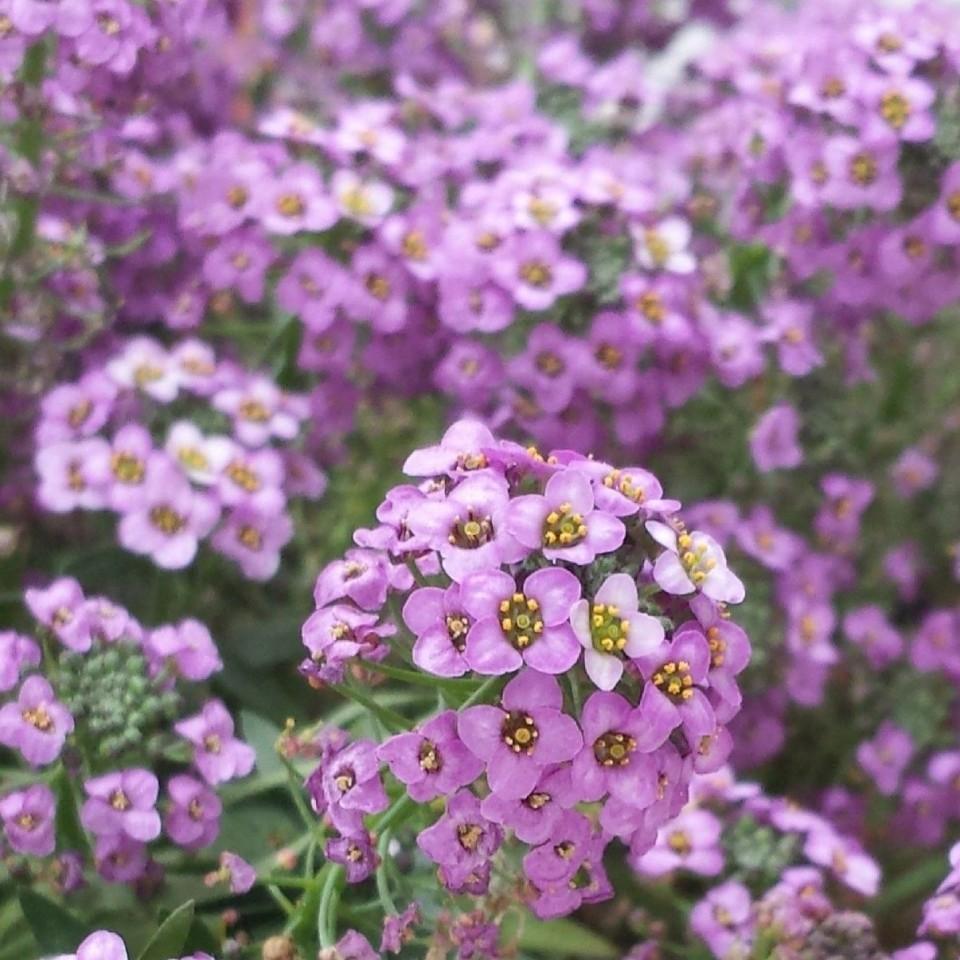 Mine Çiçeği (Verbena Bitkisi) Nedir? Mine Çiçeği Faydaları
